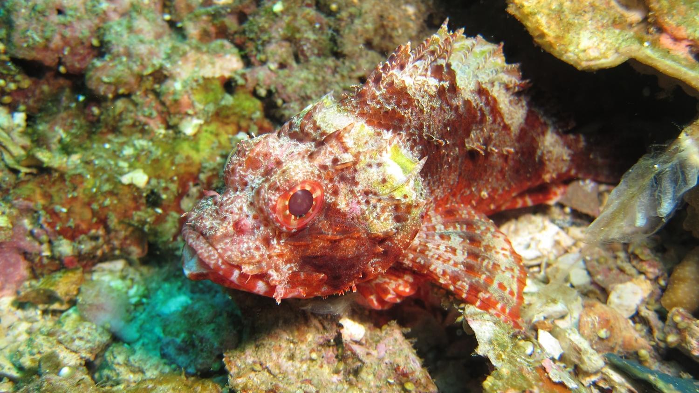 Scorpion Fish by pegamedia.com